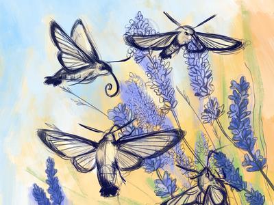 Hummingbird moths