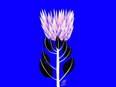 protea emilysearle ipad apple procreate draw drawing illustration flowerpower love blue black flower protea pink king