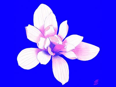 Japanese Magnolia procreate art digital illustration emily searle emilysearle love tokyo japan spring pink japanese magnolia