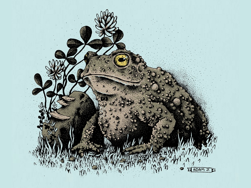 Garden Toad toad illustration
