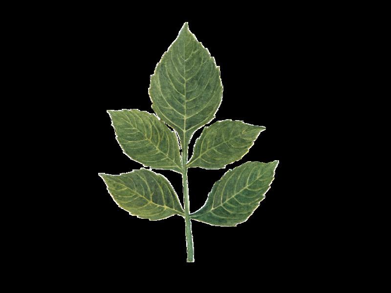 dahlia leaf