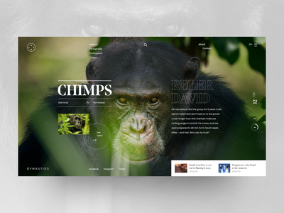 Dynasties - Chimps David biography documentary concept design chimps dynasties art website web ux ui design