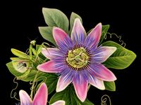 Passionflower&Mantis