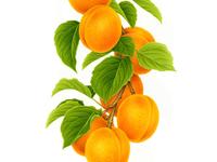 Apricot x FRUTTAGEL