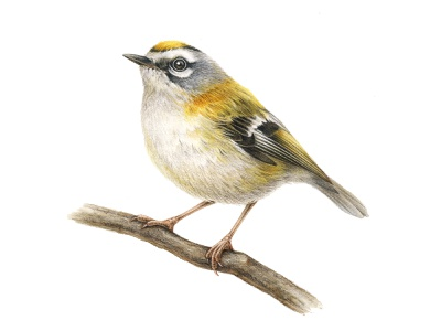 European birds: Firecrest (Regulus ignicapilla) ink nature europe realistic color watercolor animal bird packaging pencil advertising drawing handmade naturalistic illustration