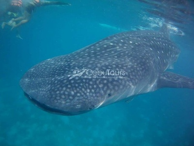 Whale Shark Watching - Cebu Tours PH