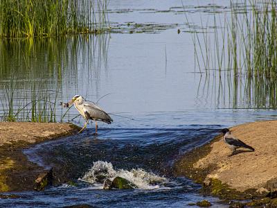 Heron and Crow river fish crow heron