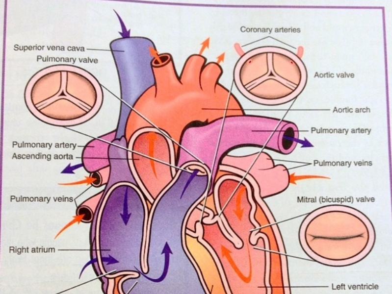 heart diagram by Private Cardiologist London on Dribbble