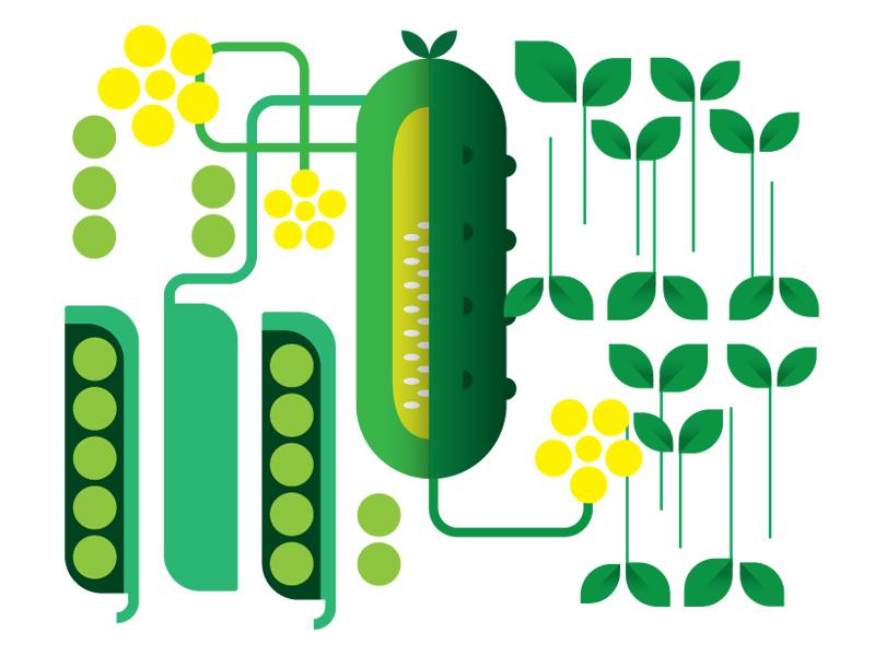 Cukes vector midcentury garden green illustration flat vegetables