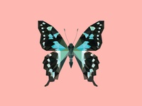 GRAPHIUM STRESSEMANNI - Flies Files Project - #004