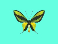 ORNITHOPTERA PARADISEA FLAVESCENS - Flies Files Project - #005