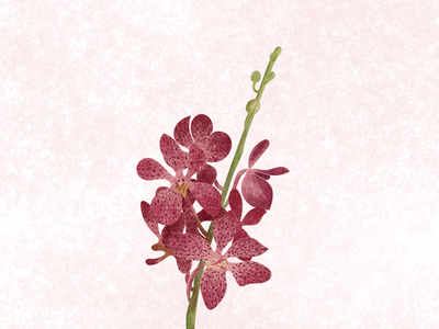 Mokara Orchid Illustration flower illustration flower orchid mokara mokaraorchid adobe illustrator surface pen illustrator illustraion digital illustration digital art digitalart botanical illustration botanical adobe photoshop digital