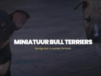 Miniature Bull Terrier Website