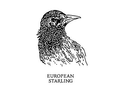 European Starling Illustration wip ink drawing illustrator vector graphic design design illustration ornithology birds birding bird