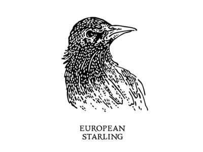 European Starling Illustration