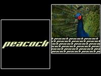 peacock [ bird collection 6/7 ]