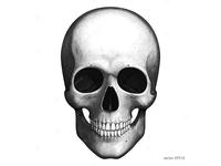 Skull. Vector etching