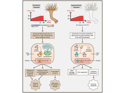 Mechanism Of Heat Responses In Aiptasia