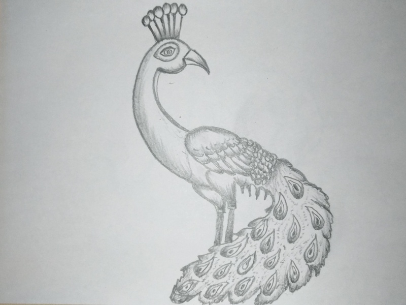 Cartoon Peacock Drawing By Mlspcart On Dribbble
