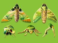 scientific illustration insect ( Oleander_Hawk )