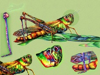 scientific illustration insect ( grasshopper )