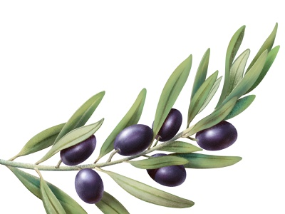 OLIVES ipadproart ipad procreate wineyard wine socialmedia olives botanical illustration botanical food advertising illustration