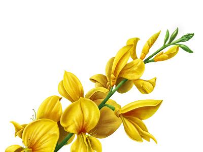 BROOM ipadproart ipad procreate art procreate chianti socialmedia flower illustration flower wine botanical art botanical illustration botanical illustrator