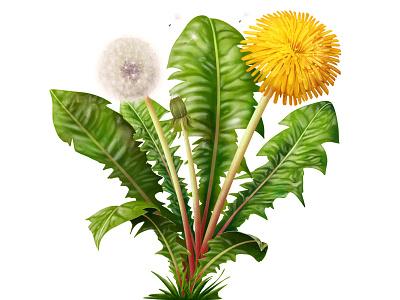 dandelion ipadproart ipad botanical illustration botanical procreate illustration flower illustration flower