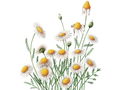 CHAMOMILE ipadart ipad procreate botanical illustration botanical flower illustration flower