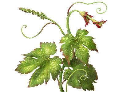 WINE SPROUT advertising plant illustration plant wine ipad procreate botanical illustration botanical flowerillustration flower