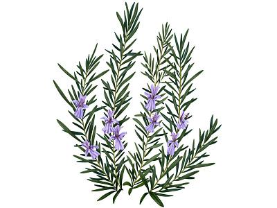 ROSEMARY flower illustration flower procreate ipad food botanical botanical illustration illustration plant illustration plant
