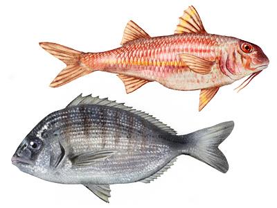 Fishes x Regione Toscana 2 drawing fishing food fish logo fish advertising flyer advertising animal illustration calendar