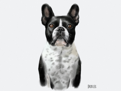 Meet Pickles the french bulldog