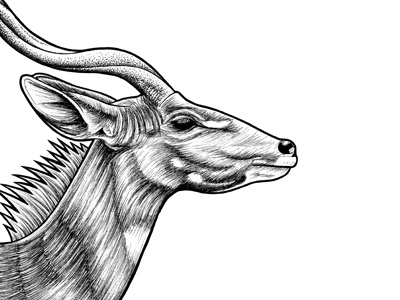 Lesser Kudu ink illustration