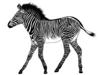 Grevy Zebra foal