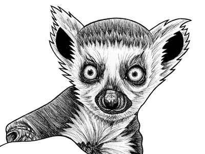 Baby ring tailed lemur - ink illustration