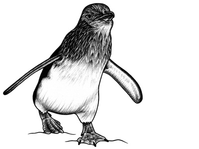 Little Penguin - ink illustration