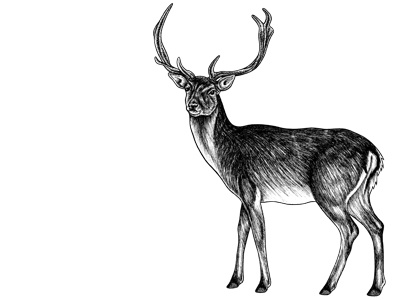 Sika deer stag - ink illustration