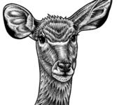 Greater Kudu - ink illustration