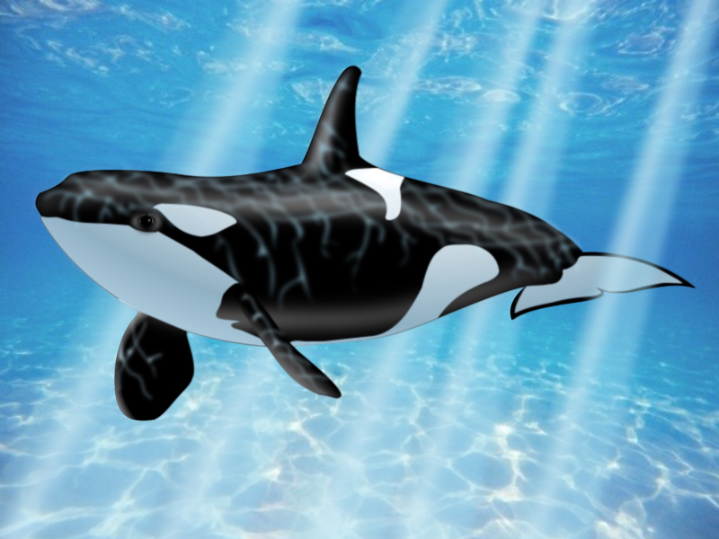 Orca- Wolf of the Sea black and white. water sea orca whale
