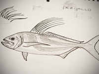 Roosterfish sketch
