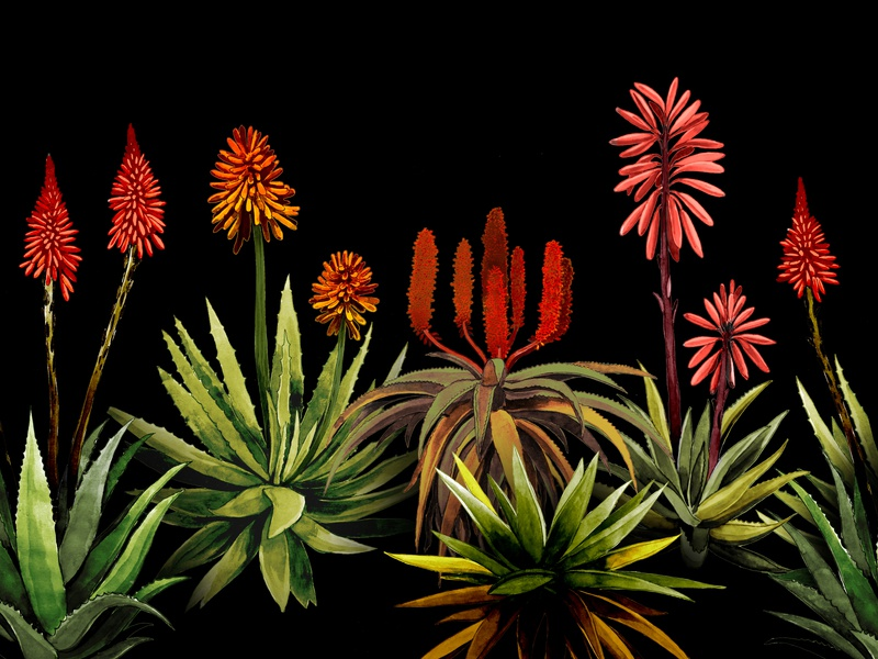 South African Aloes aloe watercolour painting design photoshop south africa illustration