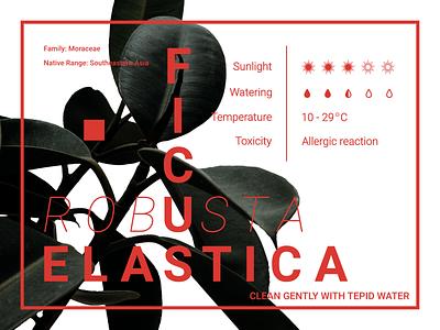 FICUS CARE (2) typography design illustrator botanical illustration booklet design booklet tips tip care plant typography graphic branding affinity designer digitalart illustration art design digital digitalgraphic artwork