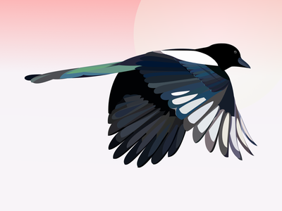Magpie Study affinity designer color palette bird study project magpie bird study illustration vector