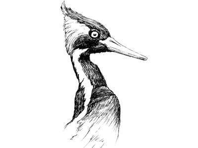 Ivory-billed woodpecker nature drawing inked illustration