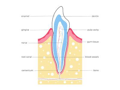 Tooth anatomy banner dental care cavity science dentin anatomy tooth vector illustration minimal flat
