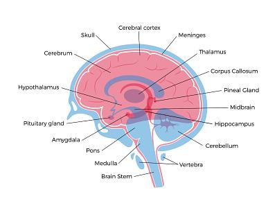 Brain anatomy medical neurology science head intelligence anatomy human brain vector illustration minimal flat
