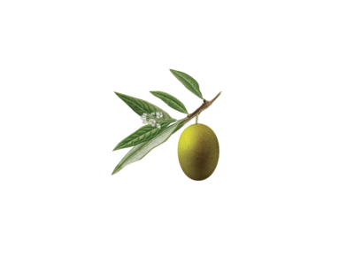 Nuvó Olive Oil Logo