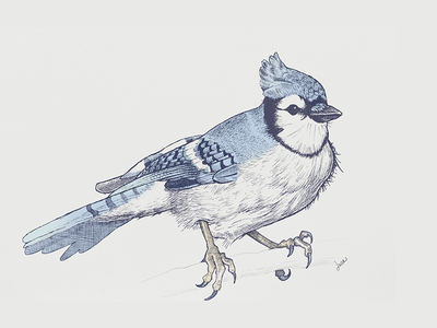 Blue jay bird blue drawing illustration blue jay