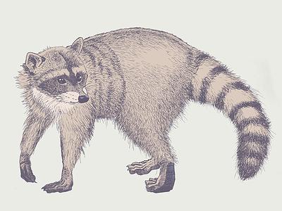 Raccoon raccoon illustration